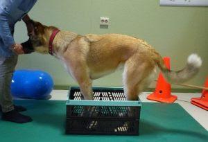 exercícios cães com patela