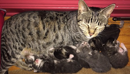 Mama Chance and her kittens converted my office to a nursery