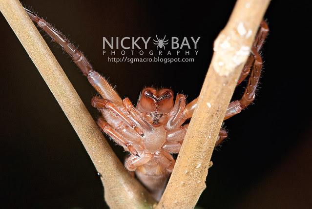 Huntsman Spider (Sparassidae) - DSC_0476