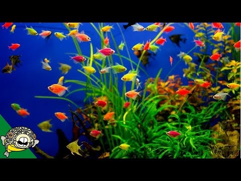 Populer Glofish Care Guide Aquarium Co Op, Video aquarium tips paling heboh!
