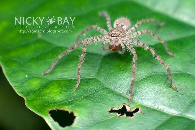 Huntsman Spider (Sparassidae) - DSC_7128