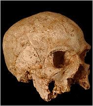 Pleistocene human skull