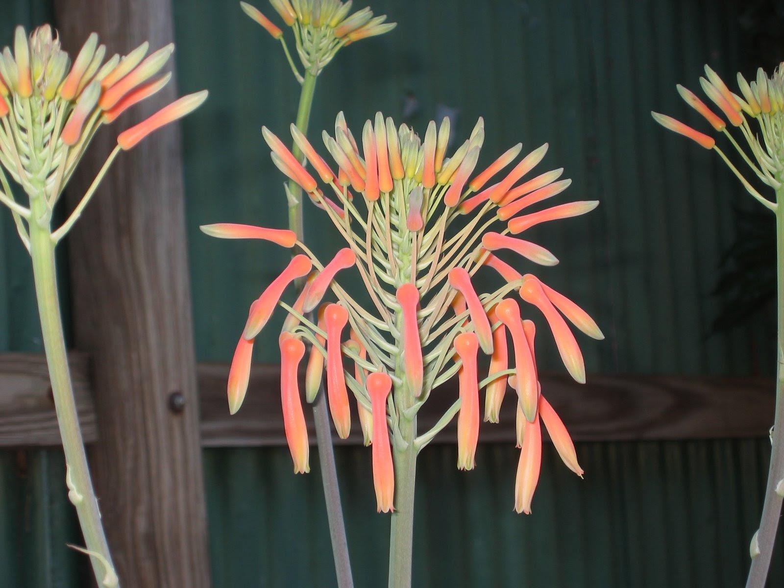 Daleys Fruit Tree Blog Aloe Vera Green Thumb Sunday