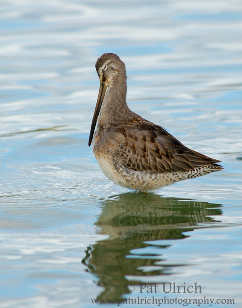 Photograph of a dowitcher standing tall while preening