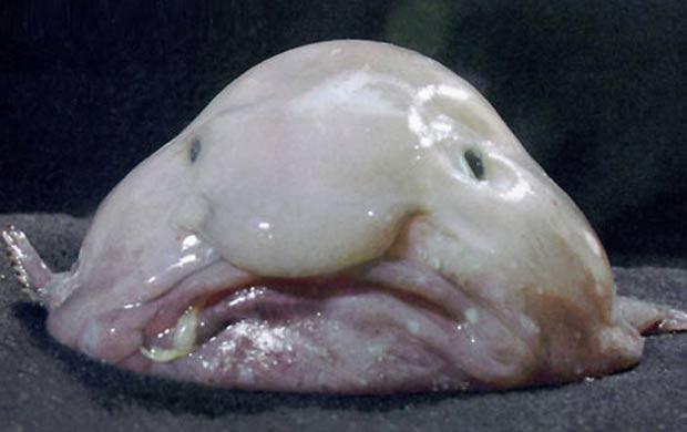 Corpo gelatinoso e não é comestível, o peixe da espécie Psychrolutes marcidus, conhecido por blobfish, já foi chamado de 'peixe mais feio do mundo'. O hábitat da criatura é a costa sudeste da Austrália, em águas profundas.  (Foto: Reprodução)