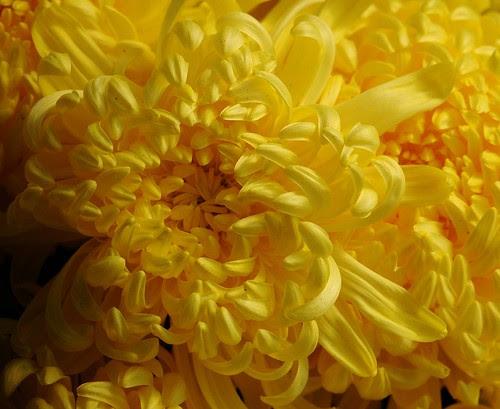 Yellow petals of mum