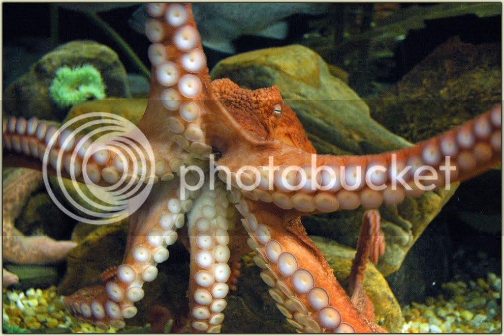Octafish