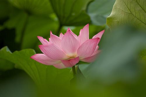 Lotus in Tokyo 1