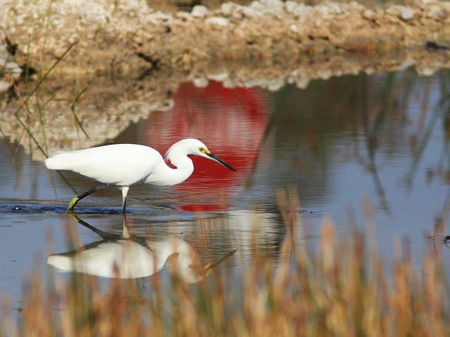 Snowy Egret 2-20140125