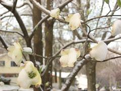 Snowy Dogwood