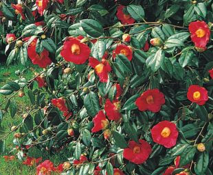 http://www.about-garden.com/images_data/5350-camellia-x-williamsii-saint-ewe-kamelie.jpg