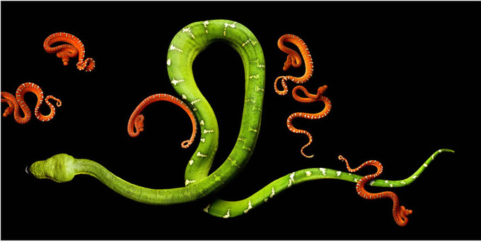 Mark Laita фотографии змей (680x343, 130Kb)
