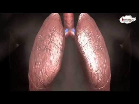 respiratory system in human