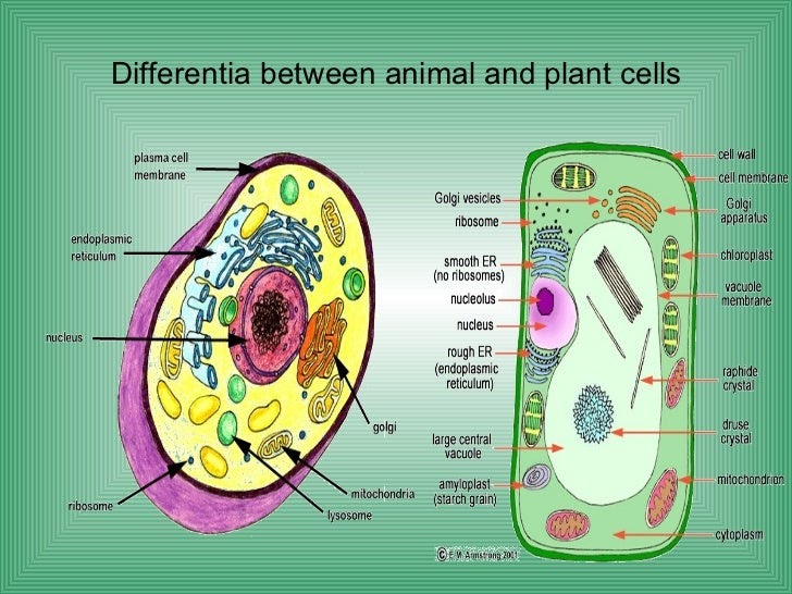 33 Typical Plant And Animal Cells Diagram And Coloring ...