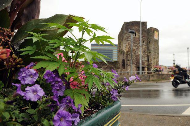 Cannabis plants found growing in flower pots in Newport