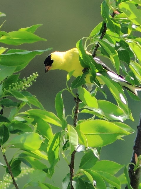 American Goldfinch 20130515