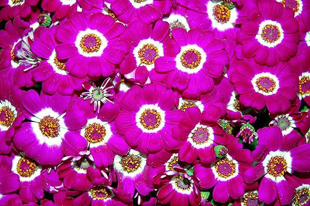 Pink Flowers Fantasy in Rambla dels Flors, Barcelona [enlarge]