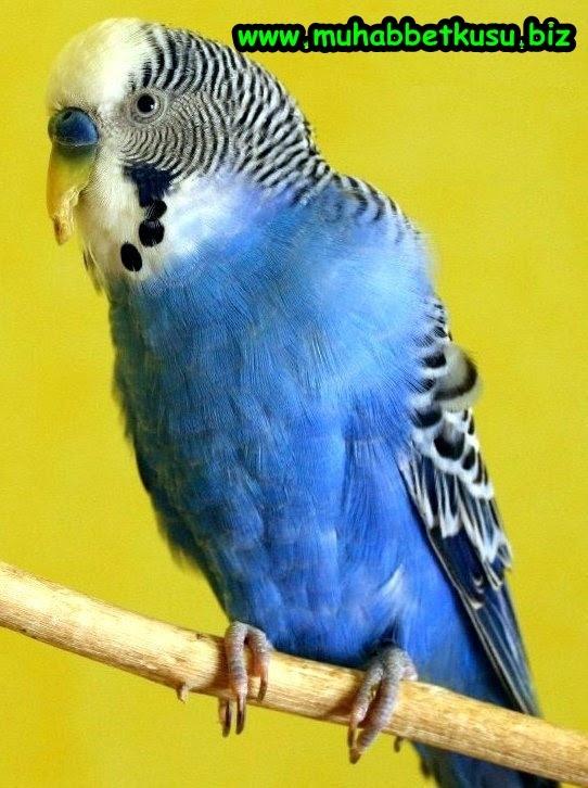 Muhabbet Kuşu Karaciğer Hastalığı Hastalıklar Ve Tedavileri