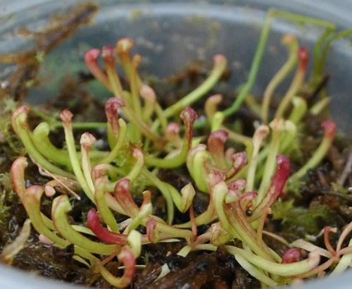 Sarracenia [(leucophylla x rubra) x ((purpurea x flava) x flava)] x 'Judith Hindle'