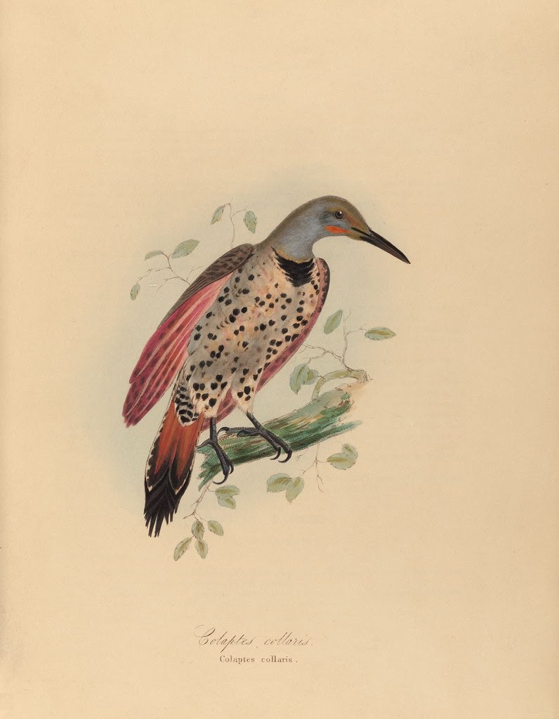 1820s zoology of Captain Beechey - Colaptes collaris