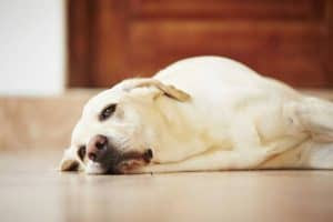 Setiap pemilik hewan peliharaan tentu sudah memiliki perasaan atau hubungan emosional yang Tanda – tanda Penuaan Pada Anjing