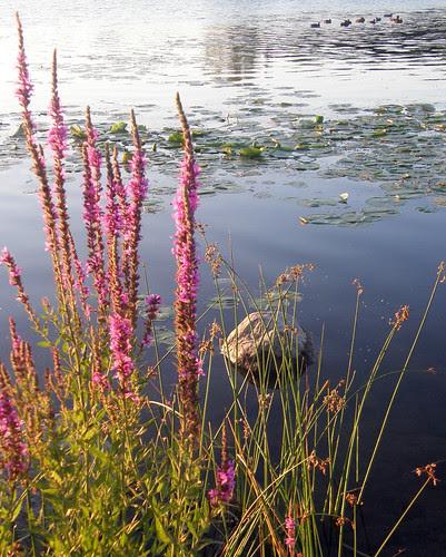 flowers_waterlillies