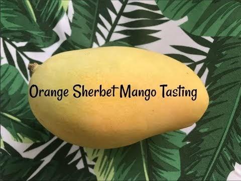 Sulcata Grove Florida Mango Tasting Orange Sherbet Mangos