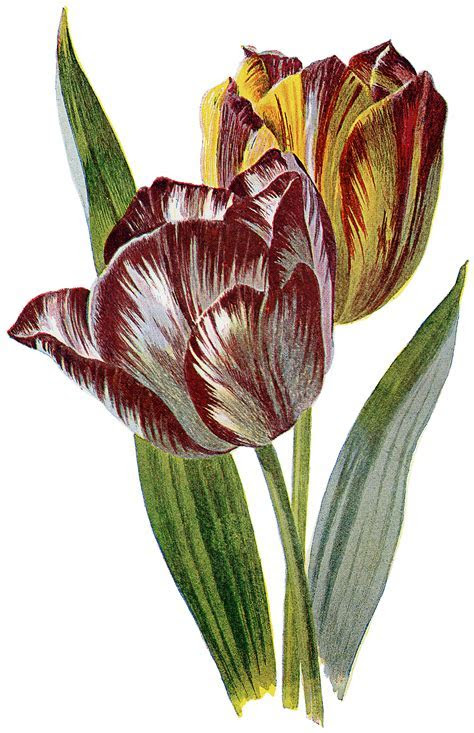 Lovely Vintage Red and Yellow Striped Tulip Image!   The
