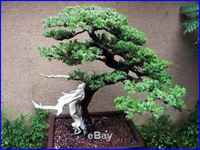 Bristlecone Pine Tree Bonsai Bonsai Tree