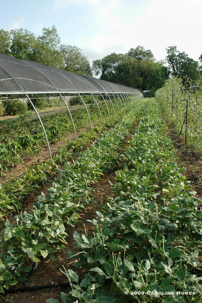 Creamer pea field at Boggy Creek Farm