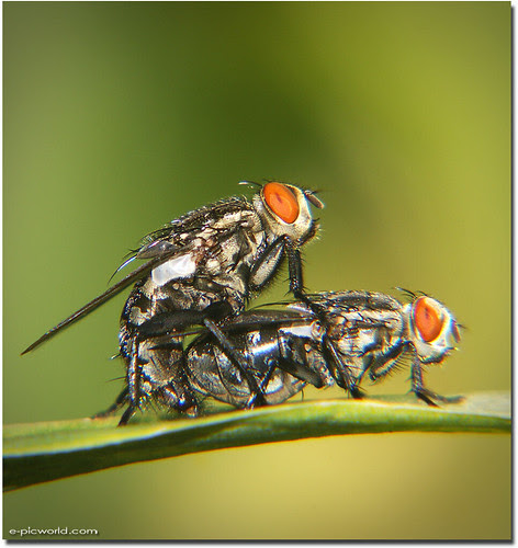 a fly mating macro picture