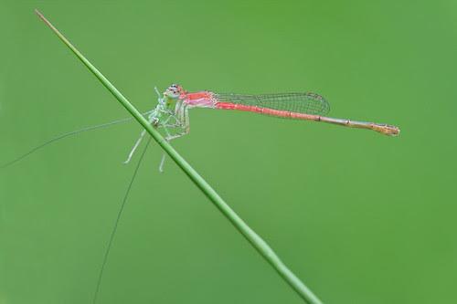 Damselfly with cricket prey.........IMG_3013 copy