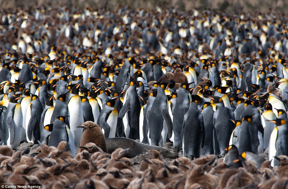 This sea of black, white and brown is created by 200,000 king penguins searching for their hungry chicks on the South Atlantic island