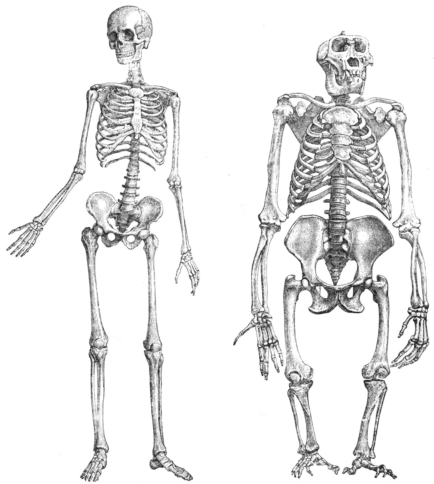 Paleontología Humana. Práctica 4. Anatomía del aparato locomotor