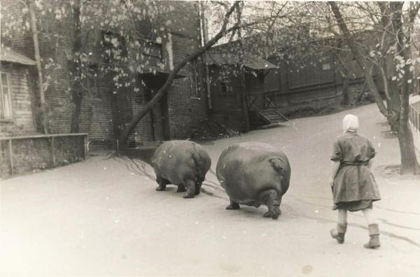 Babushka walks hippos links