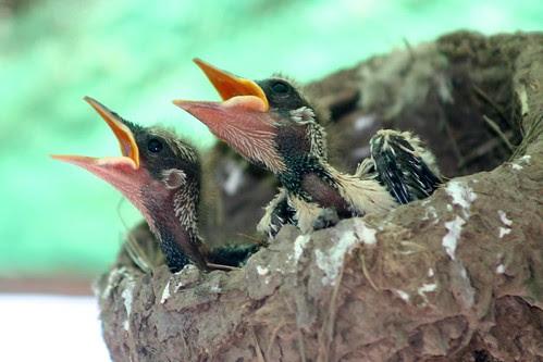Australian Magpie-Lark chicks