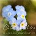 blueflowersmed
