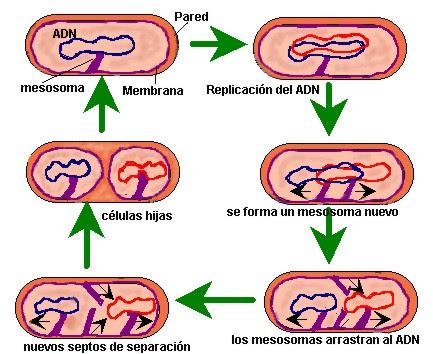 bacteria014