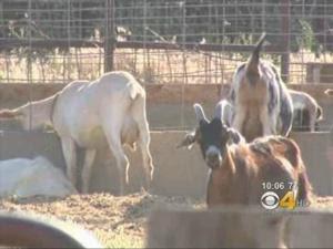 Raw Goat Milk Makes At Least 16 Sick