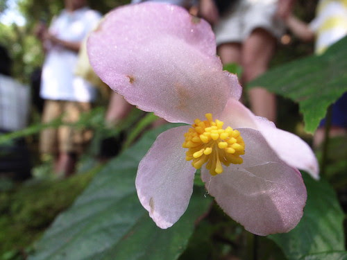 水鴨腳秋海棠:公花