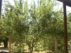 apple tree therissos hania chania