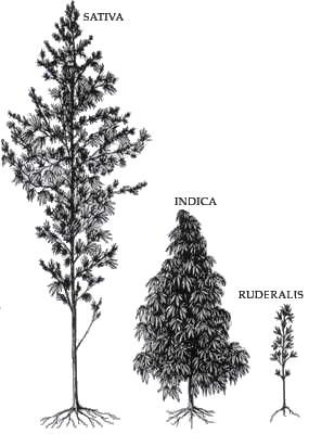 pohon-ganja
