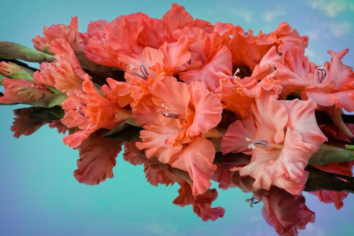Gladiolus Flower Meaning Flower Meaning