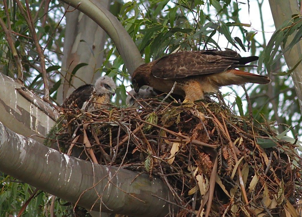 Two redtail nestlings and mother in nest in 2011 / Photo by Mary Malec