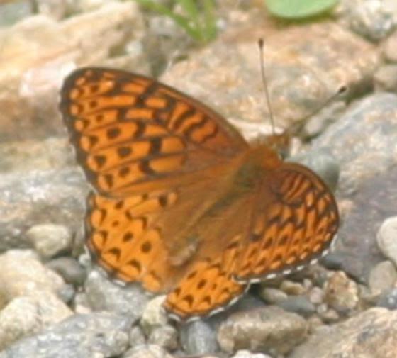 Greater Fritillary - Speyeria atlantis - male