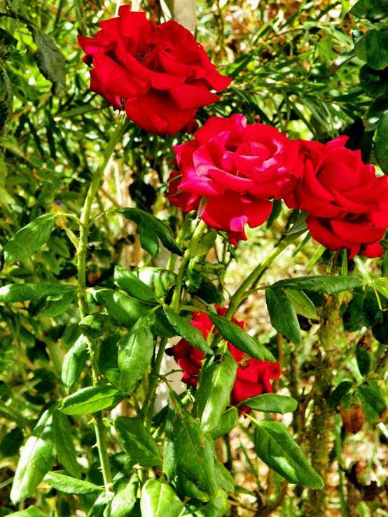 Άνθη με ιστορία τριαντάφυλλο