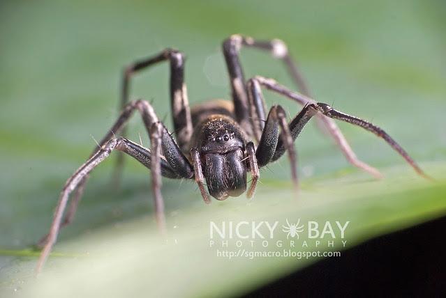 Ant-Mimic Sac Spider (Corinnomma severum) - DSC_3717