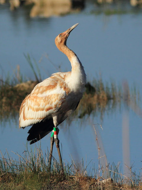 Whooping Crane 12-15 at 0850AM 20130207