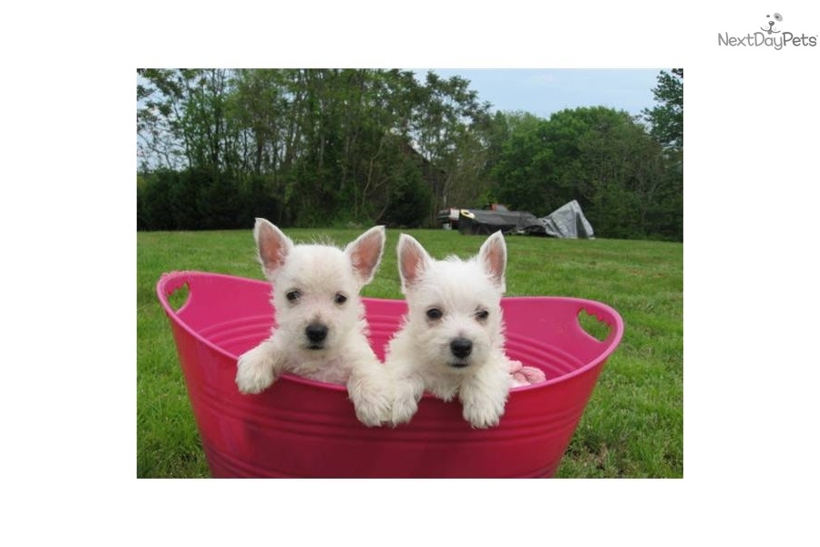 West Highland White Terrier - Westie puppy for sale near West Virginia USA
