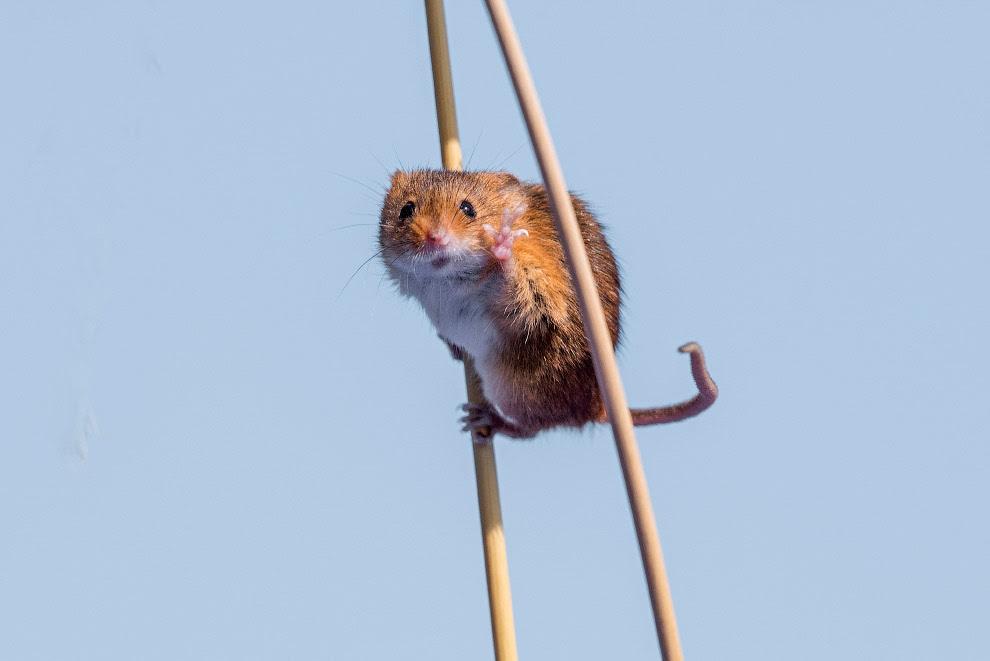 Мышь на полях Англии